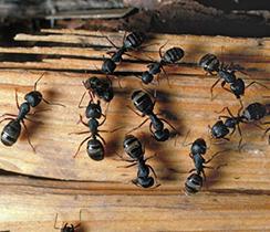 carp-ants